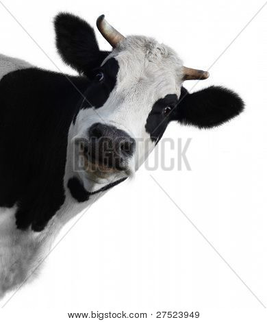 Funny cow isolated on a white background