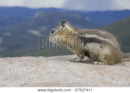 Golden Manteled Squirrel feeds on the cliff edge in the Rockies