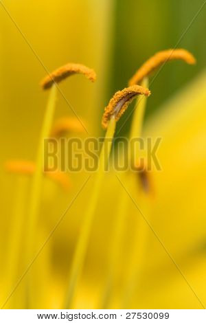 Close Up del estambre y polen en un amarillo Lilly