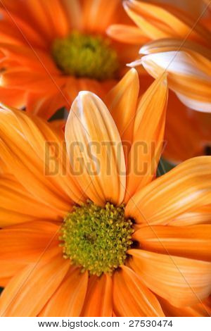 Many orange daisy flowers close up shot