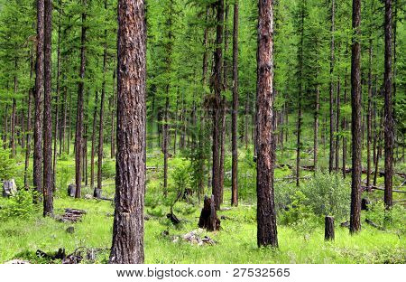 Lush green forest in the Glacier national park in summer time