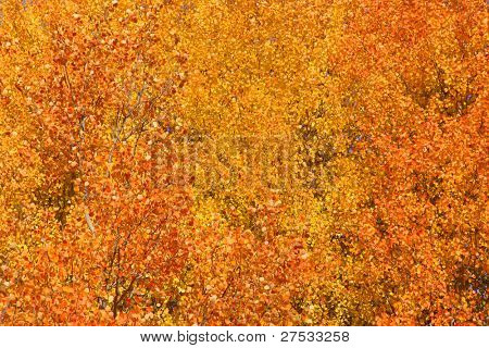 Aspen birch yellow tree at it peak fall color
