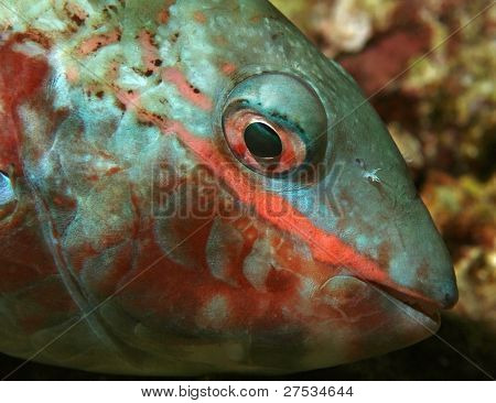 Closeup of  Redband Parrotfish