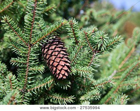 Fir Cone In Tree