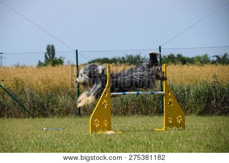 Bearded Collie Agility Training Dog Bearded