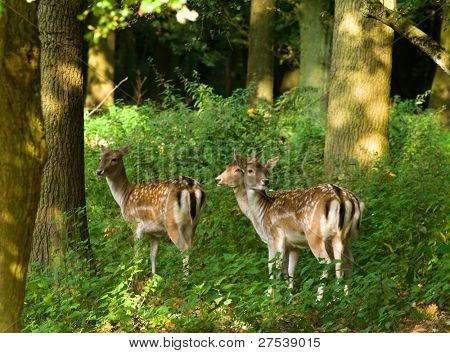 three attentive deer cows strolling through the forest in morning light