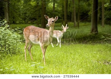 curious female fallow deer in the woods, fawn in background