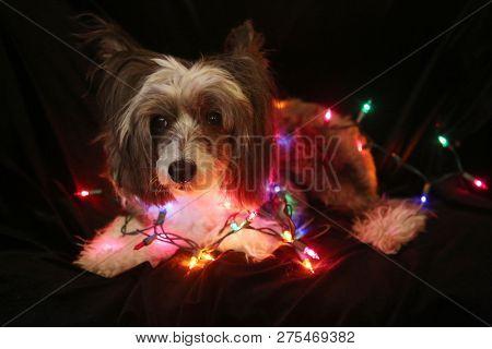 poster of Christmas Dog. Christmas Dog. Chinese Crested dog. Chinese Crested Dog with Christmas lights. Isolat