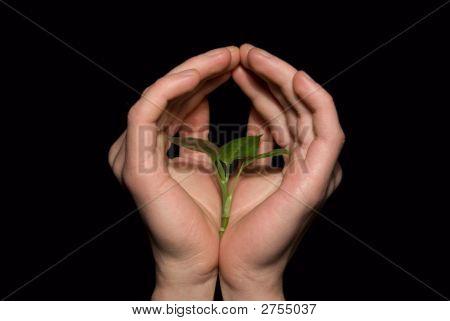 Hands Holding Sapling