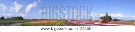 Tulip Panorama