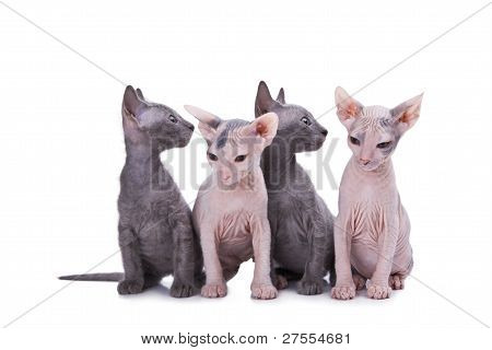 Sphinx Cats