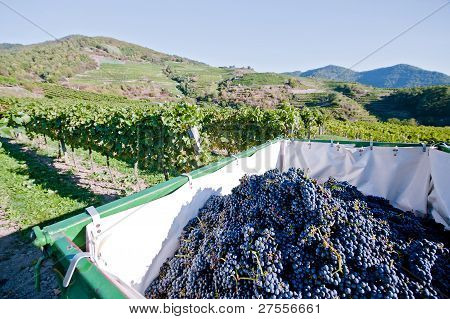 Blue Grapes in a Tractor