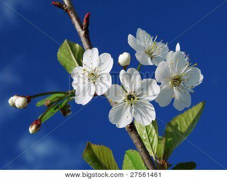 cherry tree branch in bloom against dark sky