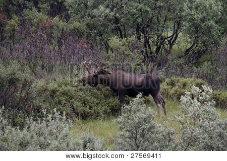 Alaskan Moose in Denali National Park