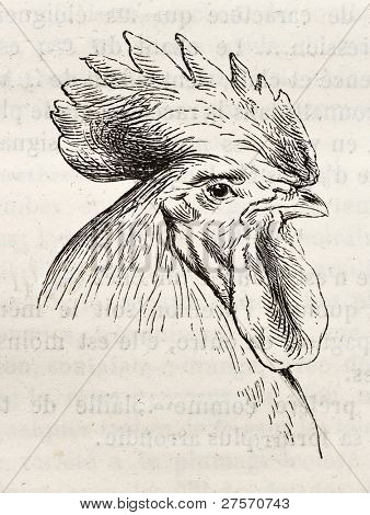 Dorking chicken head old illustration. Created by Jacque and Lavieille, published on Merveilles de la Nature, Bailliere et fils, Paris, ca. 1878