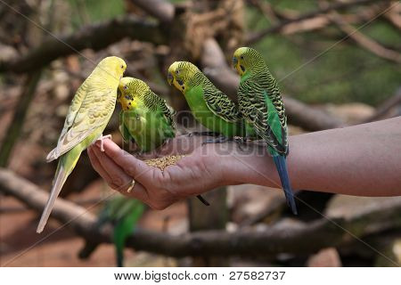 Four Budgies Peck Grains From A Human Hand