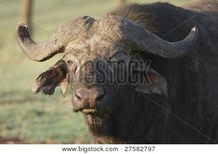 African Savannah Buffalo