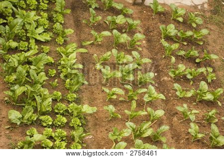 Chinese Vegetable Garden