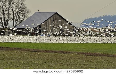 Many Snow Geese By Old Barn