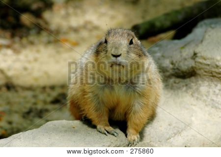 Ground Hog