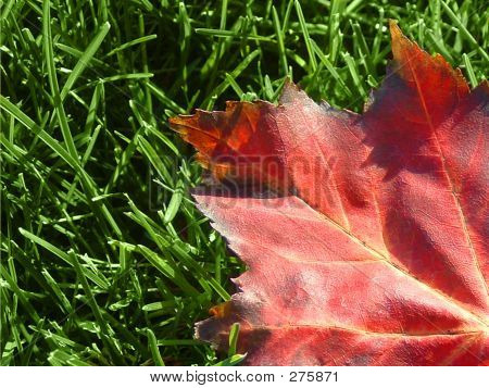 Maple_leaf_grass