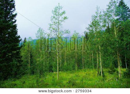 Green Mountain Landscape--Aspen Trees