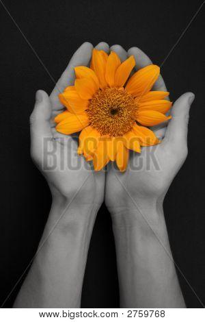 Sunflower Peace Offering