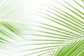 Blurred Soft Of Leaves Coconut Palm Tree Green Nature Beautiful On White Background Coconut, Blur Le poster