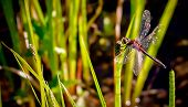 image of horsetail  - A close up of a red dragonfly perched on a horsetail plant - JPG