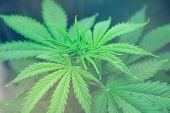 Grow In Grow Box Tent. Grow Legal Recreational Cannabis. Cannabis Flower Indoor Growing. Northern Li poster