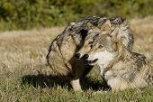 stock photo of north american gray wolf  - Two Gray Wolves in the woods of Montana - JPG