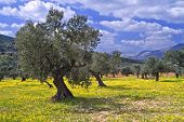 picture of olive trees  - ancient olive grove in the Galilee Israel