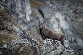 Alpine Ibex, Capra Ibex, With Rocks In Background, National Park Gran Paradiso, Italy. Autumn In The poster