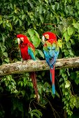 Red Parrot In Perching On Branch, Green Vegetation In Background. Red And Green Macaw In Tropical Fo poster