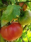 pink tomato plant sprayed with Bordeaux mixture to protect against fungal infections