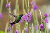 Rufous-tailed Hummingbird Hovering Next To Violet Flower In Garden, Bird From Mountain Tropical Fore poster