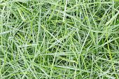 Background Of Dew Drops On Bright Green Grass. Grass Background. Wet Grass After Rain. Top View. Wal poster