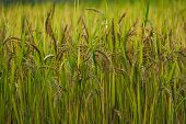 Rice Field. Closeup Of Yellow Paddy Rice Field. Royalty High-quality Free Stock Image Of Beautiful T poster