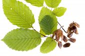 image of beechnut  - Beech nuts and leaves on white background - JPG