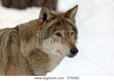 Young Female Wolf