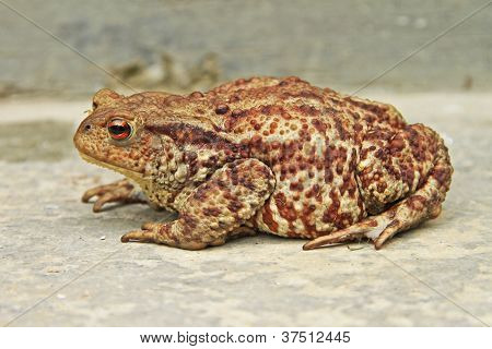 Rust-colored Toad
