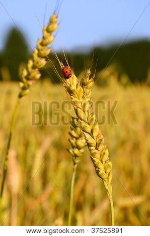Ladybug And Wheat Ear