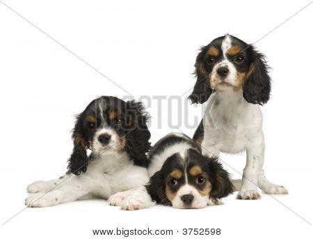 Puppies Cavalier King Charles Spaniel (3 Months)