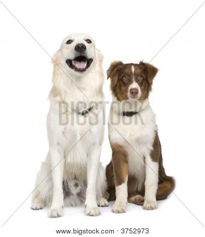 Puppy Australian Shepherd And A Golden Retriever