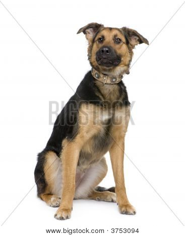 Mixed Breed Dog Between A German Shepherd And A Beauceron