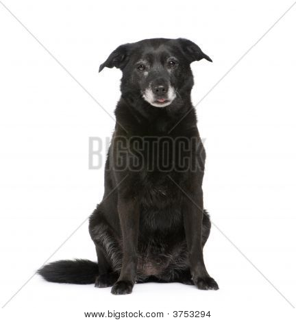 Old Mixed Breed Dog With A Labrador