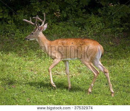 Buggy Buck
