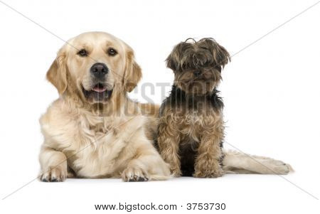 Golden Retriever And A Yorkshire Terrier