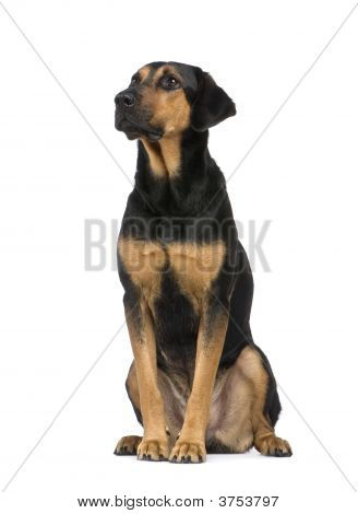 Mixed Breed Dog With A Beauceron
