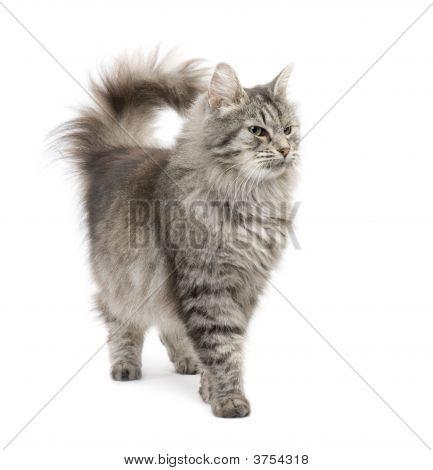 Crossbreed Siberian Cat And Persian Cat